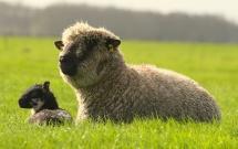 Lammetjes in naast gelegen polder